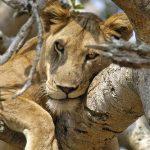 Wildlife safaris Uganda