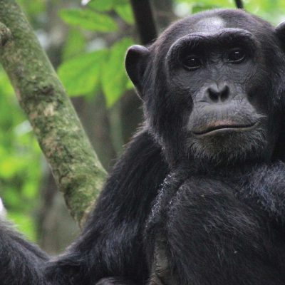 Chimpanzee habituation experience in Uganda, Chimpanzee trekking in Uganda, Chimpanzee tours in Uganda, Uganda safaris, Primate safaris in Uganda