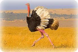 Ostrich in Uganda
