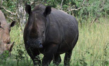 Budget safaris in Ugand, rhinos in uganda, ziwa rhino sanctuary uganda, rhino trekking in uganda, southern white rhinos in ugandaa