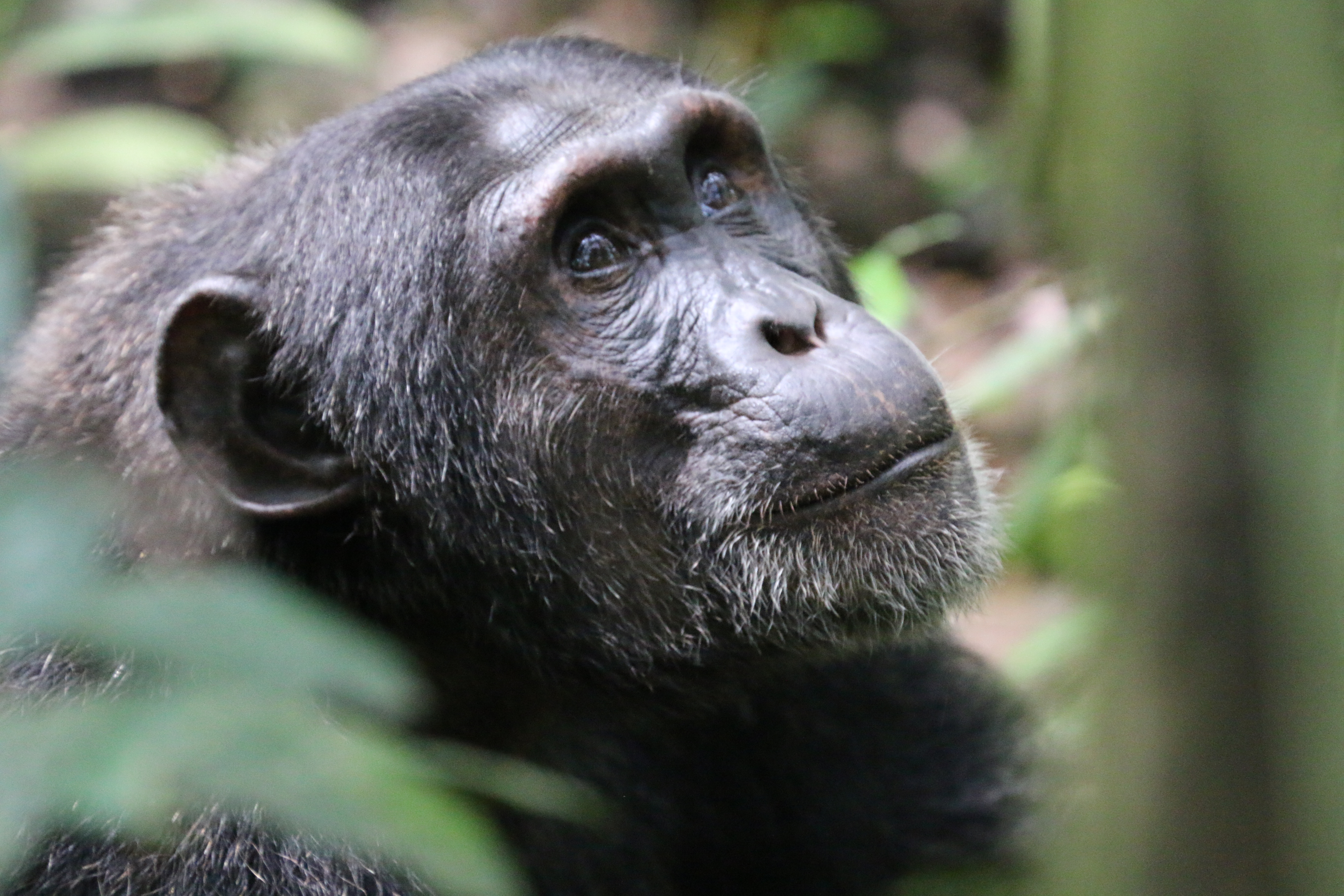 Chimpanzee habituation experience in Uganda.