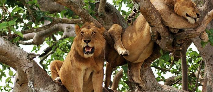 Tree climbing lions in Uganda, Uganda climbing lions, Africa safari, Visit Uganda, safari in uganda, Uganda tours