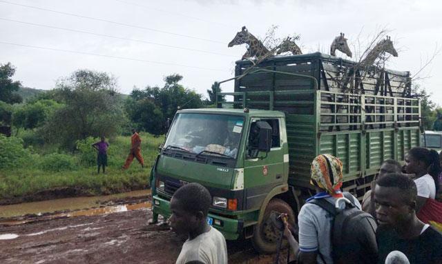 UWA translocates giraffes to Pian-Upe Game Reserve