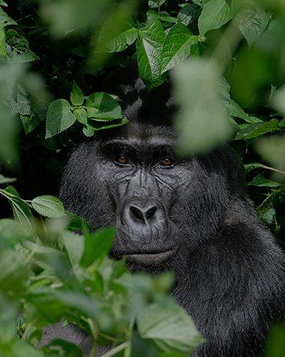 Uganda Gorilla Trekking safari, Uganda gorilla trekking tours, Gorillas in Rwanda, Uganda Gorillas, Uganda Gorilla safaris, Gorilla tours in Uganda