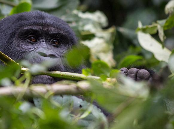 Uganda Rwanda Gorilla tracking tour