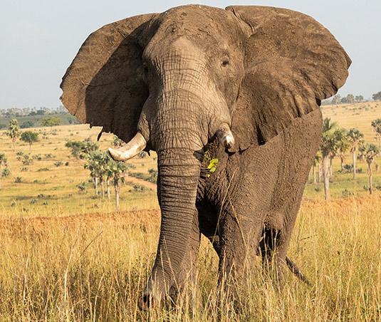 Uganda wildlife safaris, Uganda wildlife tours