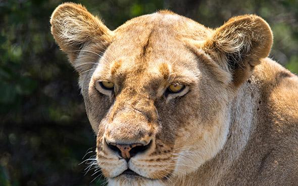 Tanzania Safais
