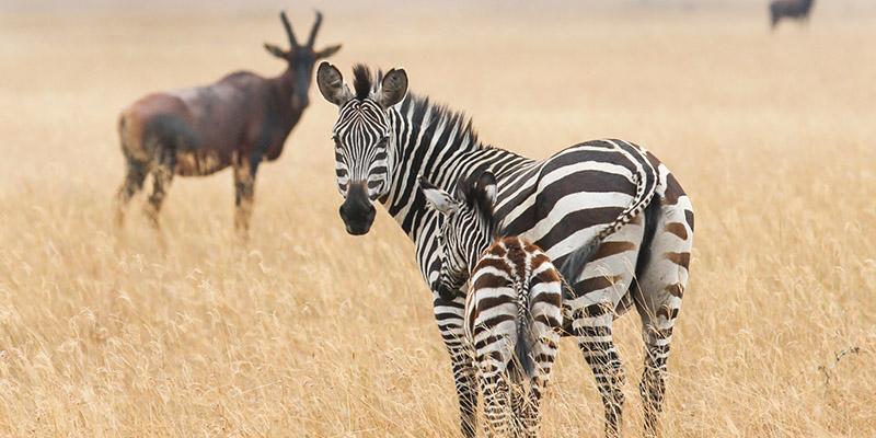 Akagera National Park Safari, Game drives in Akagera national park.