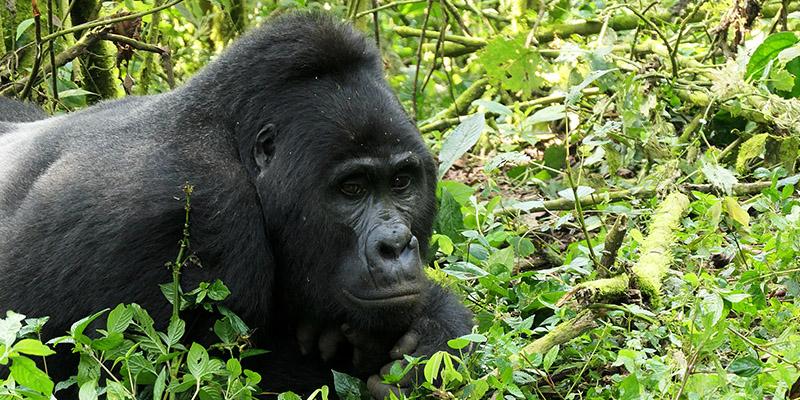 Uganda gorilla trekking, gorilla trekking safari