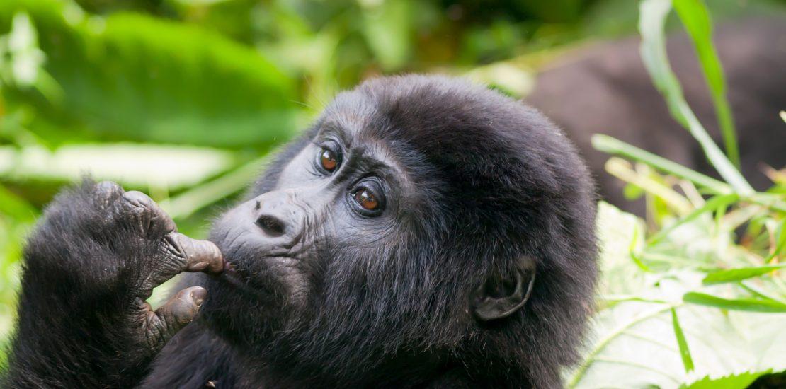 Uganda gorilla safari, Gorilla safaris in uganda, Rwanda gorilla safaris, Uganda gorilla tour, gorillas in Uganda adventure Safari