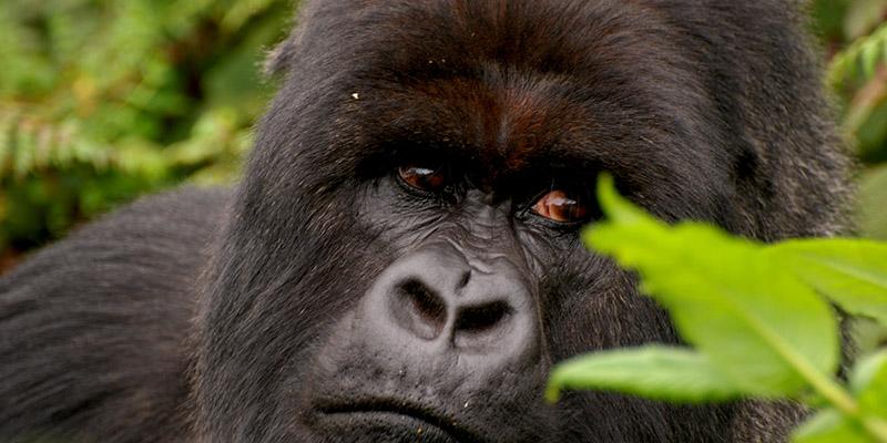 Gorilla Wildlife Safari Rwanda