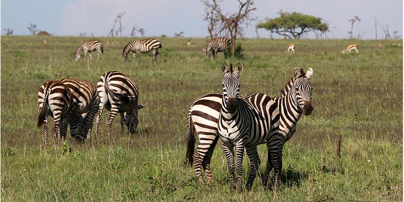 serenget national park, east Africa safari