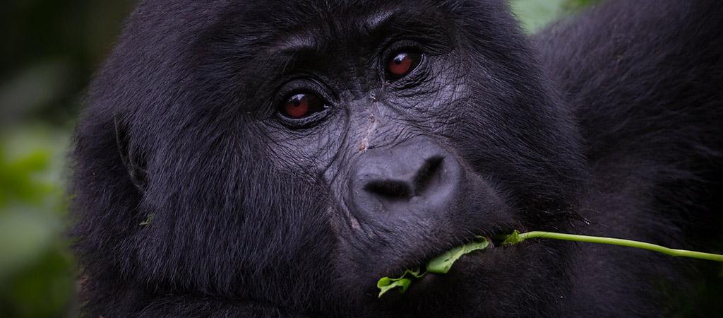 Uganda gorillas, bwindi impenetrable national park, gorilla tours in uganda, gorilla trekking in Rwanda