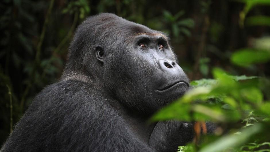 Gorilla trekking in Virunga national park, congo gorilla tours, Virunga national park, Gorilla trekking safari in Virunga national park, Congo gorilla tours, Congo gorilla trekking
