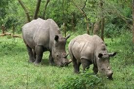 ziwa rhino sanctuary uganda, rhino tracking in uganda,