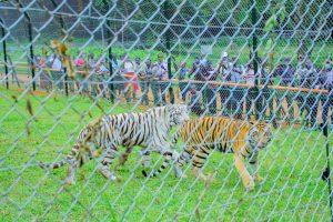 Bengal Tigers