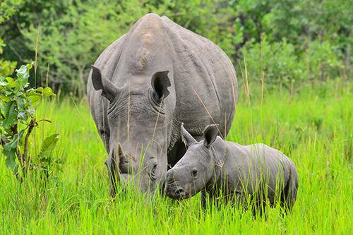 Image showing the southern white rhinos in Ziwa Rhino sanctuary