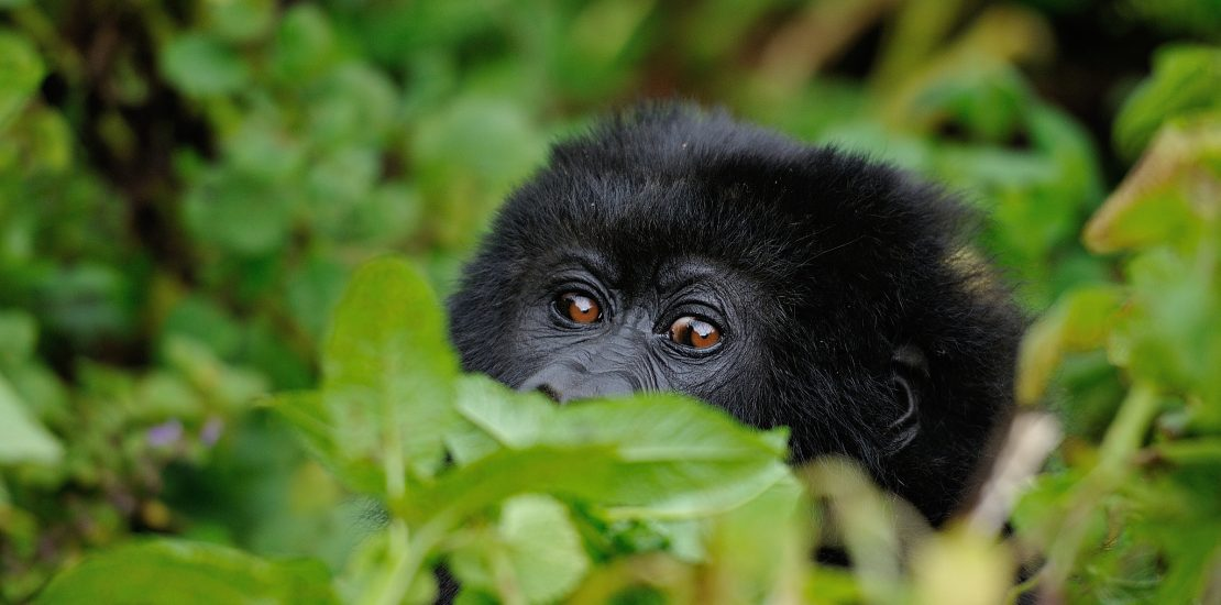 mountain gorilla of Uganda