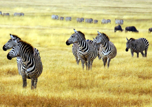 Zebras in Arusha national park